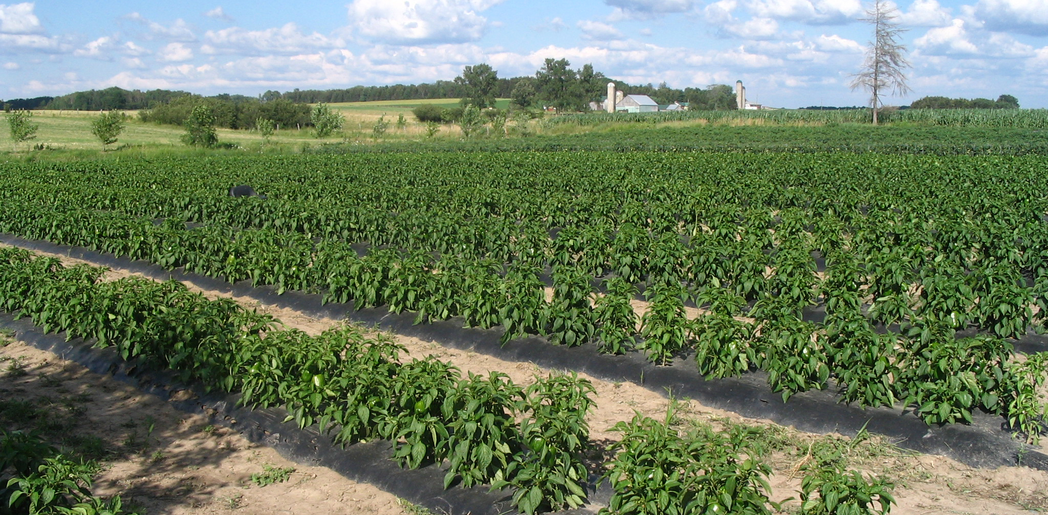 Healthy crops in adverse and stressful conditions - photo
