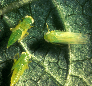 Insect potato leafhopper adult and nymphs image