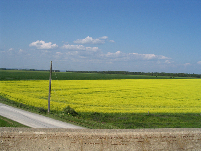 A healthy field of canola growing in Northern Ontario image