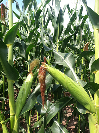 Corn growing in Southern Ontario image