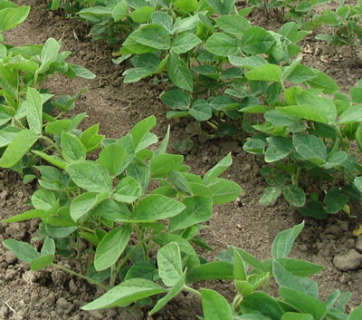 Third Trifoliolate of Soybean plants growing in Southern Ontario Canada image