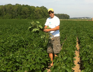 Look for healthy rhyzobium colonies on soybean roots - image
